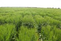 26. ensayos trigo duro