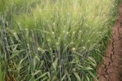 32. trigo duro
