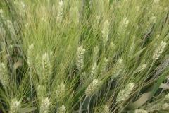 33. trigo duro espigas