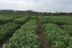 16-guisantes-en-floracion
