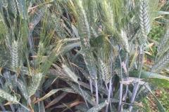 07-oidio-en-trigo-duro