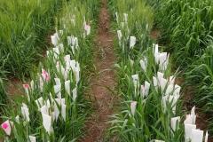 12. Cruzamientos trigo duro