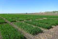 06. Ensayos de trigo en marzo