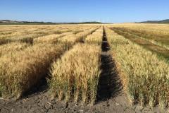 17. Ensayos trigo duro en Conil mayo